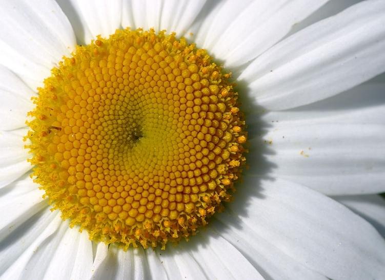 Daisy Centre Close-Up Image
